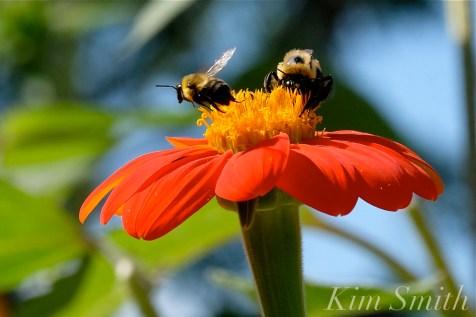 Urban Pollinator Garden Mary Prentiss Inn Cambridge copyright Kim Smith - 75