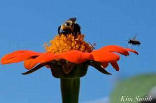 Urban Pollinator Garden Mary Prentiss Inn Cambridge copyright Kim Smith - 76