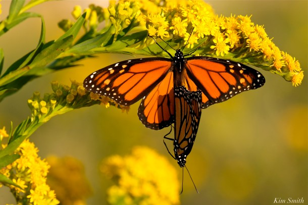 Monarch Butterflies Mating September Seaside Goldenrod copyright Kim Smith - 3 jpg