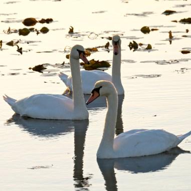 Mute Swans Cygnus olor Gloucester MA copyright Kim Smith - 21