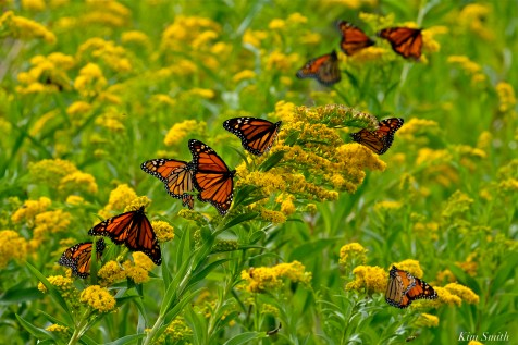 Monarch Butterflies Seaside Goldenrod Gloucester MA copyright Kim Smith