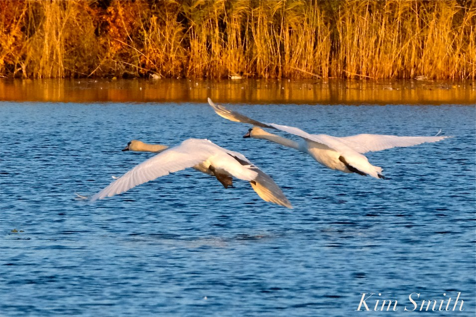 Mute Swans Cygnus olor Gloucester MA copyright Kim Smith - 38