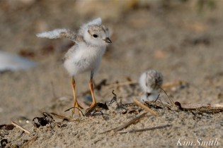 Piping Plover Chicks Lift Off coyright Kim Smith