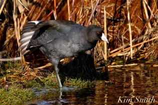 American Coot Gloucester Massachusetts copyright Kim Smith - 09 jpg