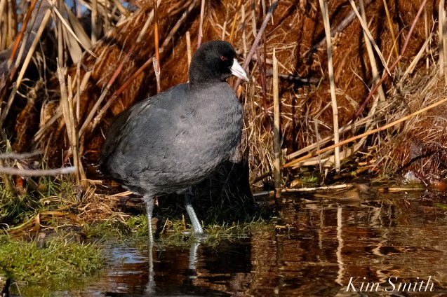 American Coot Niles Pond copyright Kim Smith - 14