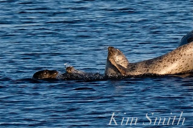 Harbor Seals Brace Cove copyright Kim Smith - 01