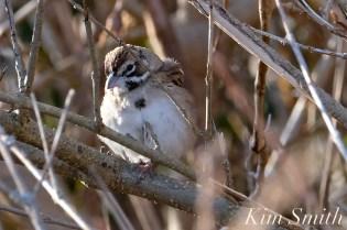 Lark Sparrow Massachusetts Gloucester copyright Kim Smith - 01