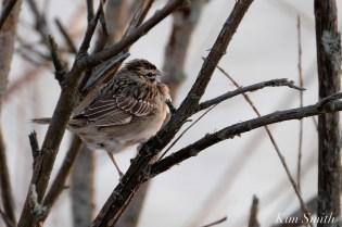 Lark Sparrow Niles Pond Brace Cove copyright Kim Smith - 06