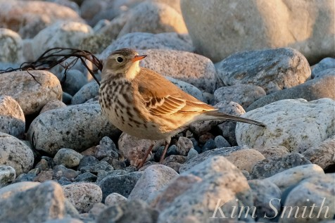 American Pipit 4-Gloucester Massachusetts copyright Kim Smith