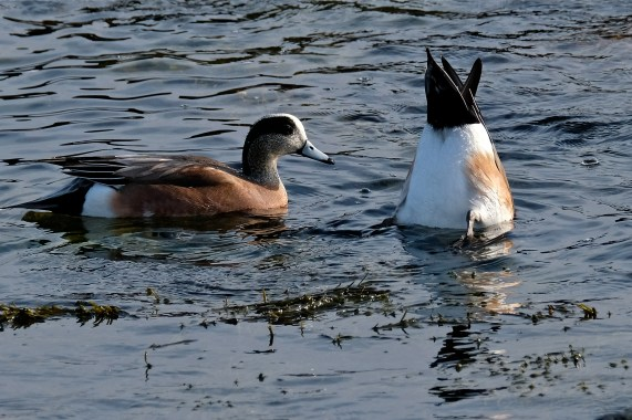 American Wigeon Winter Wildlife Gloucester Massachusetts copyright Kim Smith - 32