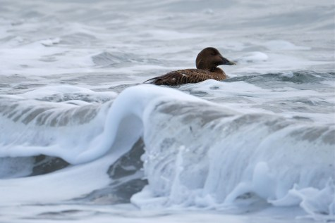 Common Eider Winter Wildlife Gloucester Massachusetts copyright Kim Smith - 27