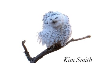 Snowy Owl Bubo scandiacus Massachusetts copyright Kim Smith - 03