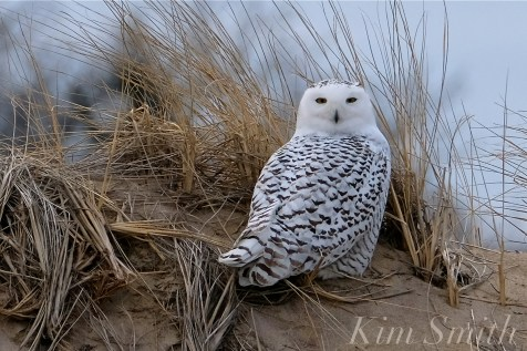 Snowy Owl Parker River Massachusetts copyright Kim Smith - 10