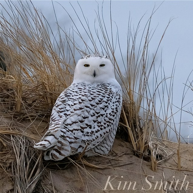 Snowy Owl Parker River Massachusetts copyright Kim Smith - 11