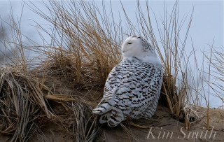 Snowy Owl Parker River Massachusetts copyright Kim Smith - 13