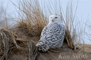 Snowy Owl Parker River Massachusetts copyright Kim Smith - 16