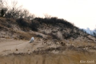 Snowy Owl Parker River Massachusetts copyright Kim Smith - 18