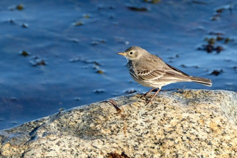 American Pipit Gloucester MA copyright Kim Smith - 4 of 4
