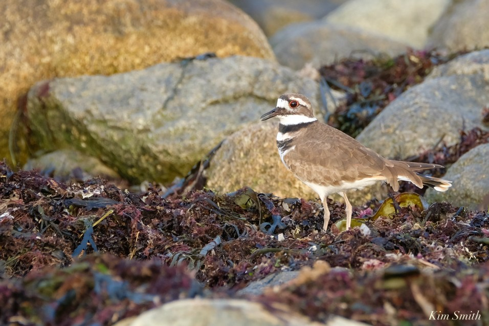 Kildeer Cape Ann Wildlife copyright Kim Smith - 19 of 27