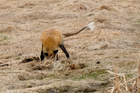 Red Fox Vulpes vulpes copyright Kim Smith - 6 of 18