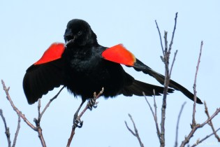 Red-winged Blackbird copyright Kim Smith - 21 of 25