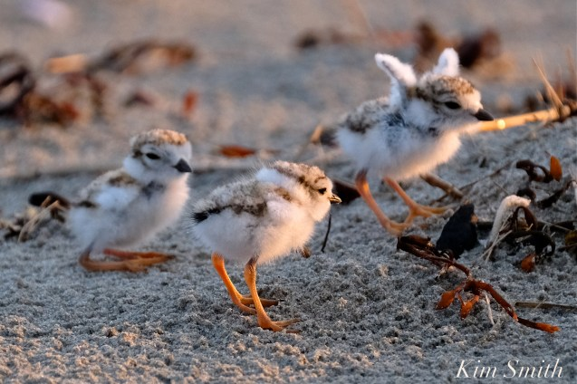 piping-plover-chicks-3-days-old-ghb-copyright-kim-smith
