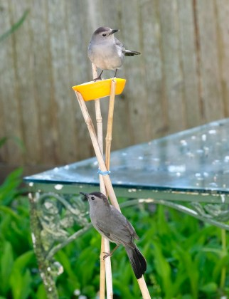 Catbirds Cape Ann Massachusetts copyright Kim Smith - 17 of 18