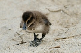 Common Eider Duckling Rescue copyright Kim Smith - 5 of 11
