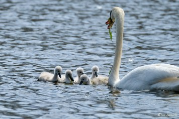 Cygnets copyright Kim Smith - 27 of 28