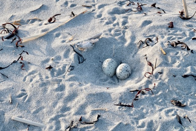 Good Harbor beach Piping Plover Two Eggs May 24, 2020 copyright Kim Smith