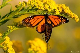 monarch-butterflies-mating-september-seaside-goldenrod-copyright-kim-smith-