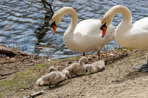 Mute Swans Male Female Cygnets copyright Kim Smith - 5 of 28