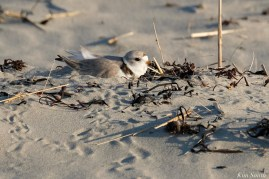 Piping Plover Female Nest Good Harbor Beach Gloucester 2020m cpyright kim Smith