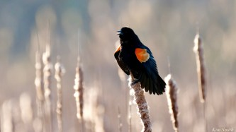 Red-winged Blackbird copyright Kim Smith