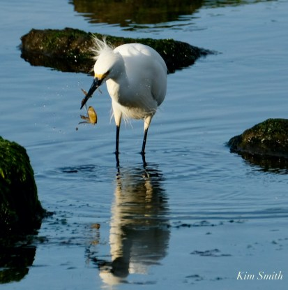 Snowy Egret Cape Ann Massachusetts copyright Kim Smith - 5 of 6