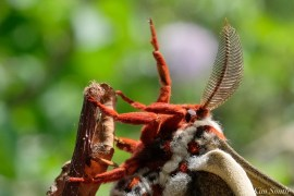 Cecropia Moth Male Giant Silk Moth copyright Kim Smith - 5 of 22