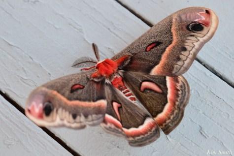 Cecropia Moth Male Giant Silk Moth Male copyright Kim Smith