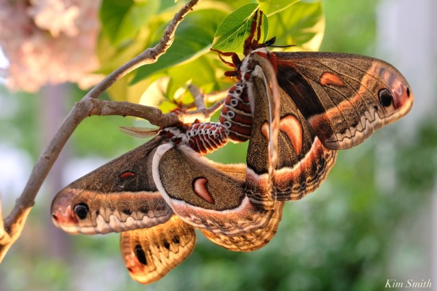Cecropia Moth Mating Giant Silk Moth copyright Kim Smith - 16 of 22