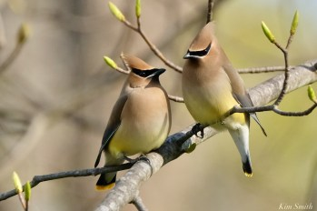 Cedar Waxwing Spring 2020 copyright Kim Smith - 23 of 68