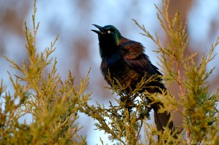Grackle Spring 2020 copyright Kim Smith - 3 of 68