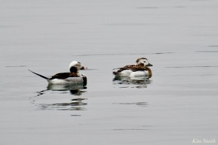 Long-tailed Duck Early Spring 2020 copyright Kim Smith - 1 of 68