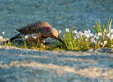 Northern Flicker Bluetts Spring 2020 copyright Kim Smith - 40 of 68