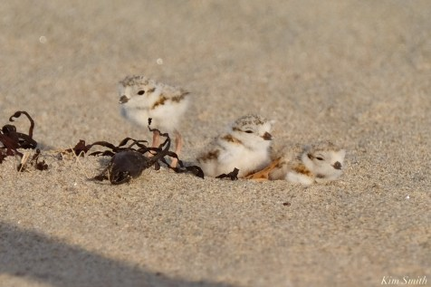 Piping Plover Clam Fam Day Hatching Day #2 Afternoon copyright Kim Smith - 27 of 52