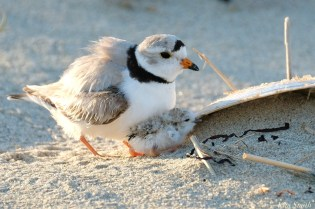 Piping Plover Clam Fam Day Hatching Day #2 Afternoon copyright Kim Smith - 41 of 52