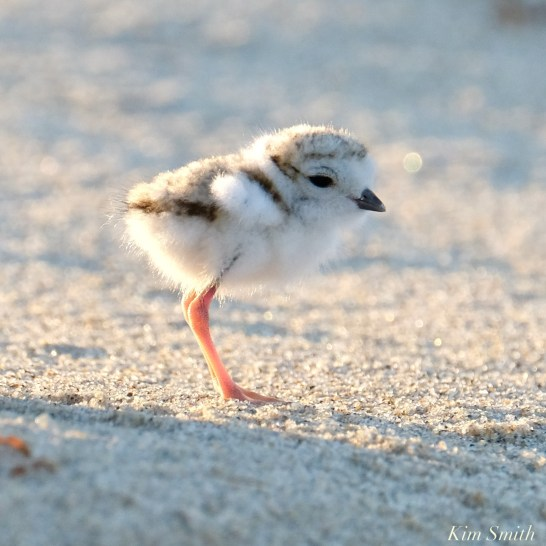 Piping Plover Clam Fam Day Hatching Day #2 Afternoon copyright Kim Smith - 46 of 52