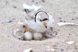Piping Plover Clam Fam Day Hatching Day #2 Morning copyright Kim Smith - 10 of 51
