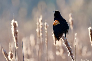 Red-winged Blackbird Spring 2020 copyright Kim Smith - 11 of 68