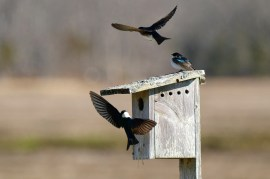 Tree swallows Spring 2020 copyright Kim Smith - 15 of 68