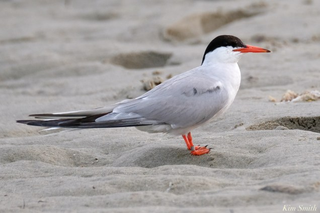 Common Tern Good Harbor Beach Gloucester copyright Kim Smith - 13 of 21