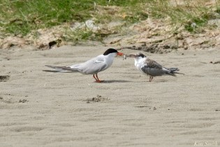 Common Tern Juvenile Adult Feeding Good Harbor Beach Gloucester copyright Kim Smith - 18 of 21